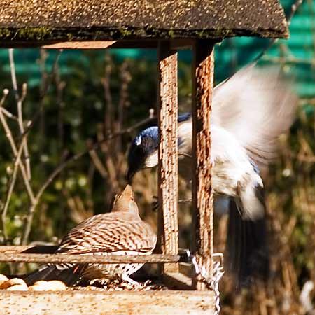 Blue Jay vs. Flicker