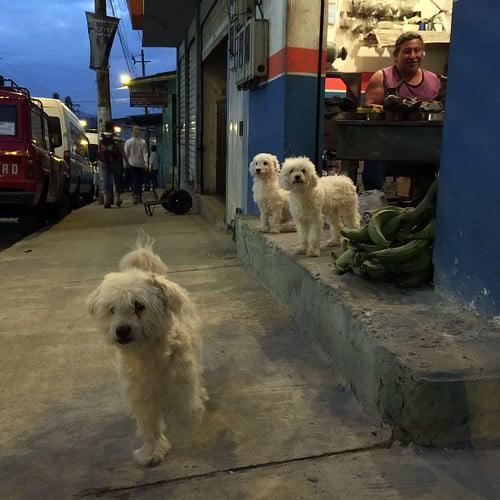Ecuador 2016 - Perros de Los Bancos