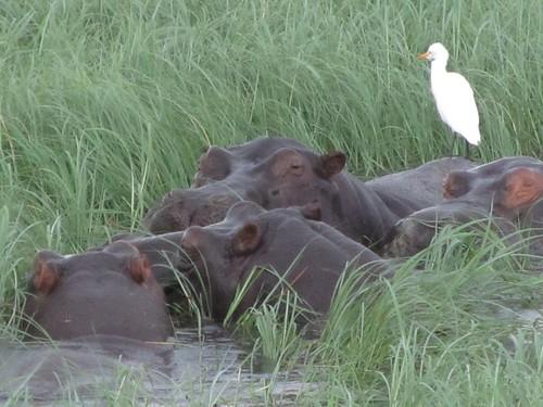 Hippos in Chobe National Park