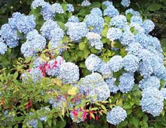 [One of our blue hydrangeas]
