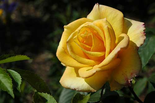 [photo of a yellow rose]