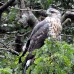 juvenile black hawk