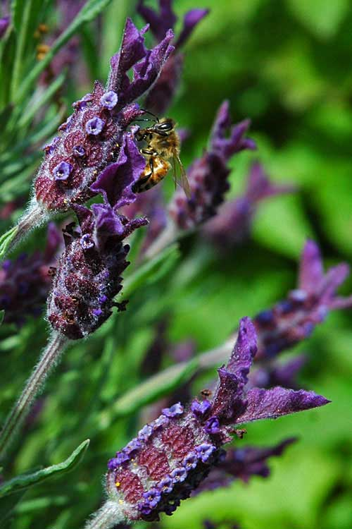 [photo of honey bee on lavender]