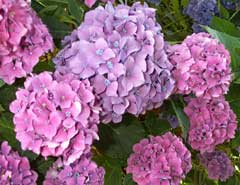 [Our purple hydrangea]