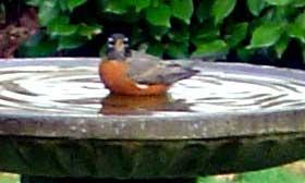 [photo: common robin