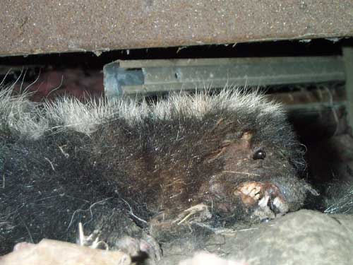 [photo of the dead skunk]