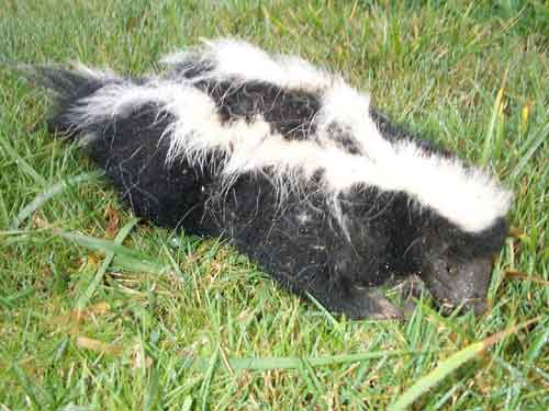 [photo of the dead skunk resting on the lawn]