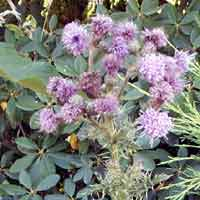 [photo of Canada Thistle]