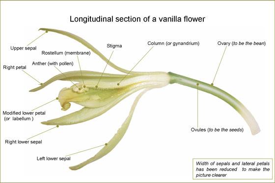 Longitudinal section of a vanilla flower