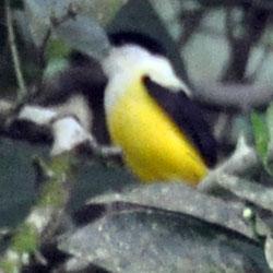 white-collared manakin